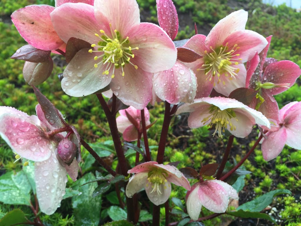 Early Hellebores in my organic garden