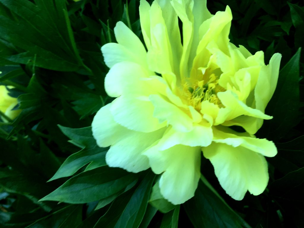 Choice shade plant: Lemon Yellow Peony