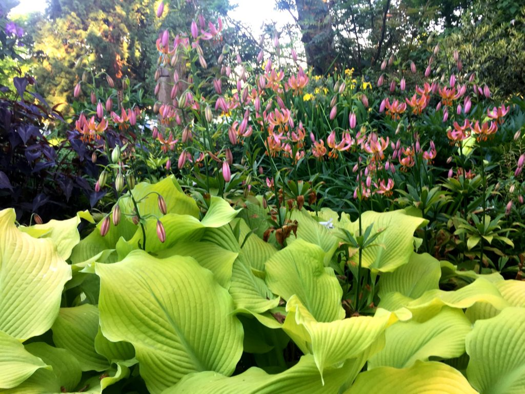Choice shade plants; Martagon Lilies hover over bright lime green hosta